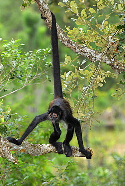 Black-handed Spider Monkey (Ateles geoffroyi) using prehensile tail, Belize  -  Thomas Marent