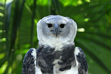 Harpy Eagle (Harpia harpyja) portrait, Belize  -  Thomas Marent