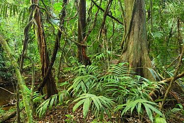 Tropical rainforest with lianas, Cockscomb Basin Wildlife Sanctuary, Belize  -  Thomas Marent