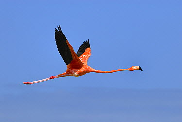 Greater Flamingo (Phoenicopterus ruber) flying, Rio Lagartos, Yucatan, Mexico  -  Thomas Marent