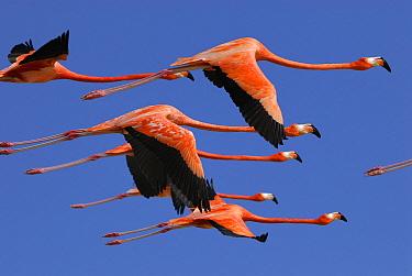 Greater Flamingo (Phoenicopterus ruber) group flying, Rio Lagartos, Yucatan, Mexico  -  Thomas Marent