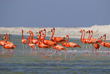 Greater Flamingo (Phoenicopterus ruber) group walking through water, Rio Lagartos, Yucatan, Mexico  -  Thomas Marent