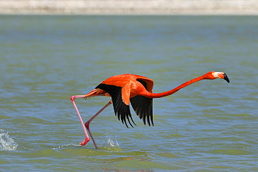 Greater Flamingo (Phoenicopterus ruber) taking flight, Rio Lagartos, Yucatan, Mexico  -  Thomas Marent