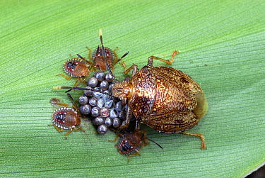 True Bug with eggs and hatched larvae, Cahuita National Park, Costa Rica  -  Thomas Marent