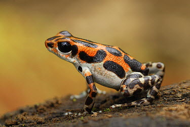 Strawberry Poison Dart Frog (Oophaga pumilio), Bocas del Toro, Panama  -  Thomas Marent