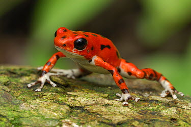 Strawberry Poison Dart Frog (Oophaga pumilio), Bocas del Toro, Panama  -  Thomas Marent