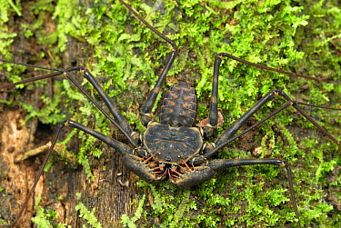 Whip Spider (Phrynidae) on moss-covered tree, Braulio Carrillo National Park, Costa Rica  -  Thomas Marent