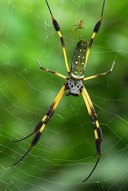Banana Spider (Nephila clavipes) female and smaller male, Bocas del Toro, Panama  -  Thomas Marent