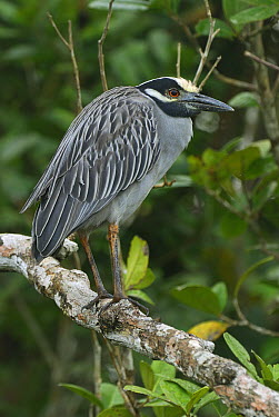 Yellow-crowned Night-Heron (Nyctanassa violacea) perched on branch, Cahuita National Park, Costa Rica  -  Thomas Marent