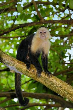 White-faced Capuchin (Cebus capucinus) in tree, Cahuita National Park, Costa Rica  -  Thomas Marent