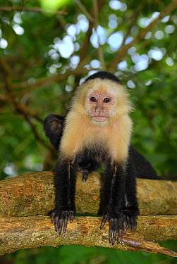 White-faced Capuchin (Cebus capucinus) resting in tree, Cahuita National Park, Costa Rica  -  Thomas Marent