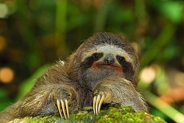 Brown-throated Three-toed Sloth (Bradypus variegatus) portrait, Cahuita National Park, Costa Rica  -  Thomas Marent