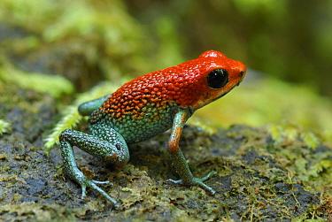 Granular Poison Dart Frog (Dendrobates granuliferus), Corcovado National Park, Costa Rica  -  Thomas Marent
