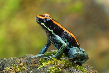 Golfodulcean Poison Frog (Phyllobates vittatus), Corcovado National Park, Costa Rica  -  Thomas Marent