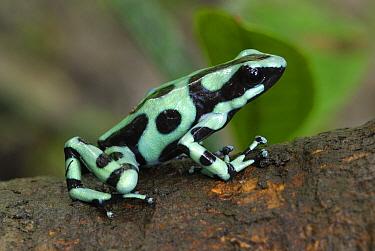 Green and Black Poison Dart Frog (Dendrobates auratus), Cahuita National Park, Costa Rica  -  Thomas Marent