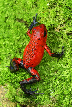 Strawberry Poison Dart Frog (Oophaga pumilio), Cahuita National Park, Costa Rica  -  Thomas Marent