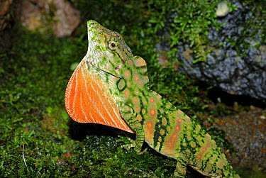 Banded Anole (Anolis insignis) displaying dewlap in cloud forest, Costa Rica  -  Thomas Marent