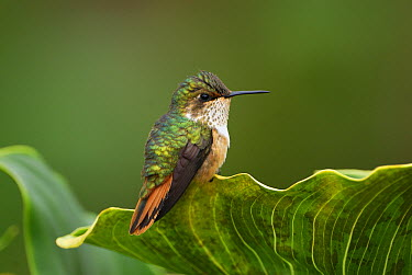 Scintillant Hummingbird (Selasphorus scintilla) female, Costa Rica  -  Thomas Marent