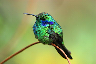 Green Violet-ear (Colibri thalassinus) hummingbird perched on twig, Costa Rica  -  Thomas Marent