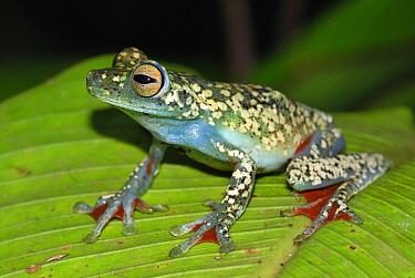 Canal Zone Treefrog (Hypsiboas rufitelus), Costa Rica  -  Thomas Marent