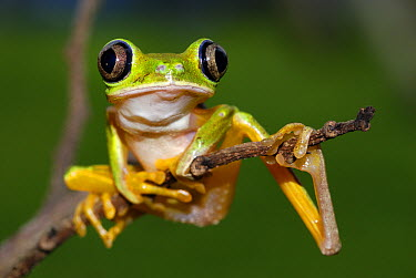 Lemur Frog (Phyllomedusa lemur) portrait, Siquirres, Costa Rica  -  Thomas Marent
