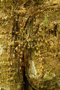 Giant Crab Spider (Sparassidae) camouflaged on bark, Erawan National Park, Thailand  -  Thomas Marent