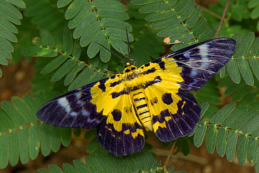 False Tiger Moth (Dysphania militaris), Erawan National Park, Thailand  -  Thomas Marent