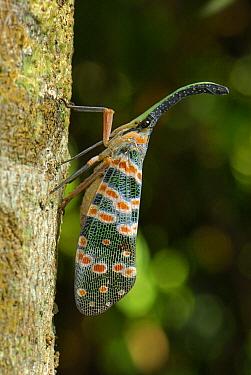 Fulgorid Planthopper (Fulgoridae) on tree trunk, Erawan National Park, Thailand  -  Thomas Marent