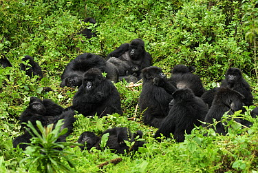 Mountain Gorilla (Gorilla gorilla beringei) troop resting, Volcanoes National Park, Rwanda  -  Thomas Marent