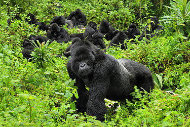 Mountain Gorilla (Gorilla gorilla beringei) male guarding troop, Volcanoes National Park, Rwanda  -  Thomas Marent