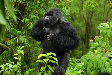 Mountain Gorilla (Gorilla gorilla beringei) silverback displaying by beating chest and calling, Volcanoes National Park, Rwanda  -  Thomas Marent