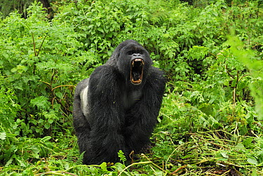 Mountain Gorilla (Gorilla gorilla beringei) silverback displaying, Volcanoes National Park, Rwanda  -  Thomas Marent