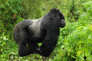 Mountain Gorilla (Gorilla gorilla beringei) silverback, Volcanoes National Park, Rwanda  -  Thomas Marent