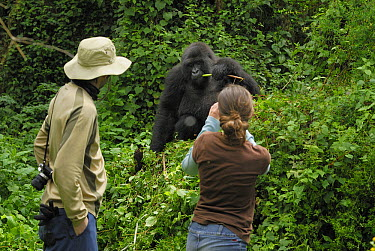 Mountain Gorilla (Gorilla gorilla beringei) adult with tourists, Volcanoes National Park, Rwanda  -  Thomas Marent
