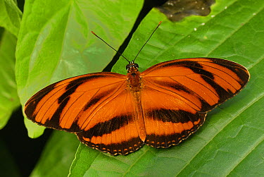 Banded Orange Heliconian (Dryadula phaetusa) butterfly, Colombia  -  Thomas Marent
