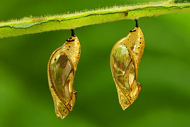 Orange-spotted Tiger Clearwing (Mechanitis polymnia) chrysalis pair, Colombia  -  Thomas Marent