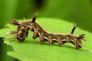 Variable Cracker (Hamadryas feronia) caterpillar in defensive posture, Colombia  -  Thomas Marent