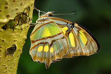 Malachite (Siproeta stelenes) butterfly, Colombia  -  Thomas Marent