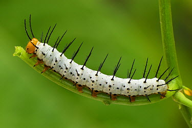 Blue Longwing Butterfly (Heliconius cydno) caterpillar, Colombia  -  Thomas Marent
