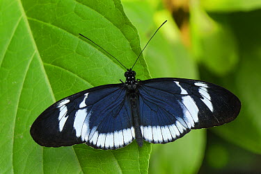 Blue Longwing Butterfly (Heliconius cydno), Colombia  -  Thomas Marent