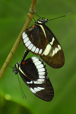 Blue Longwing Butterfly (Heliconius cydno) pair mating, Colombia  -  Thomas Marent