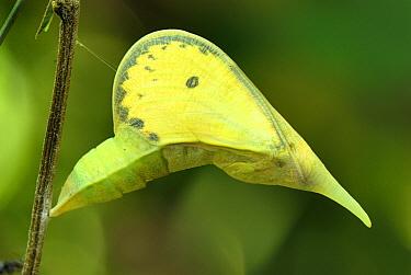 Cloudless Sulphur (Phoebis sennae) chrysalis, Colombia  -  Thomas Marent