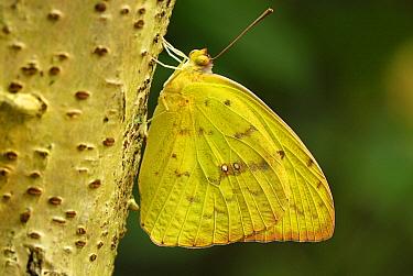 Cloudless Sulphur (Phoebis sennae) butterfly, Colombia  -  Thomas Marent