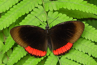 Red Rim (Biblis hyperia) butterfly, Colombia  -  Thomas Marent