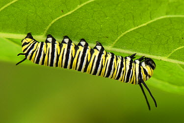 Monarch (Danaus plexippus) caterpillar on underside of leaf, Colombia  -  Thomas Marent