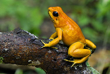 Golden Poison Dart Frog (Phyllobates terribilis), Cauca, Colombia  -  Thomas Marent
