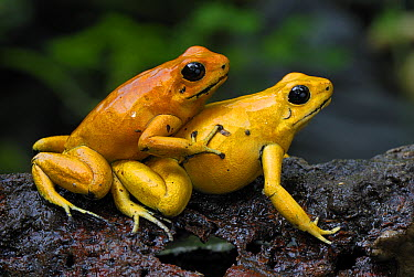 Golden Poison Dart Frog (Phyllobates terribilis) pair mating, Cauca, Colombia  -  Thomas Marent