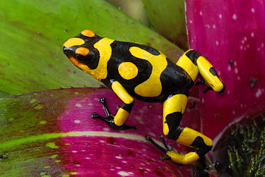 Harlequin Poison Dart Frog (Dendrobates histrionicus) on bromeliad, Cauca, Colombia  -  Thomas Marent