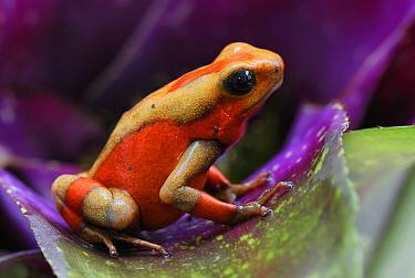 Harlequin Poison Dart Frog (Dendrobates histrionicus) on bromeliad, Cauca, Colombia  -  Thomas Marent
