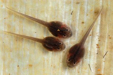 Golden Poison Dart Frog (Phyllobates terribilis) tadpoles, Cauca, Colombia  -  Thomas Marent